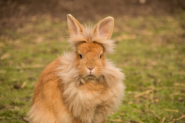 alimentazione-coniglio-nano